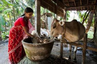 Rita Baidya of Nabapally, India, borrowed money from a Rotary credit program to buy a calf which will eventually help her family through the sale its milk.