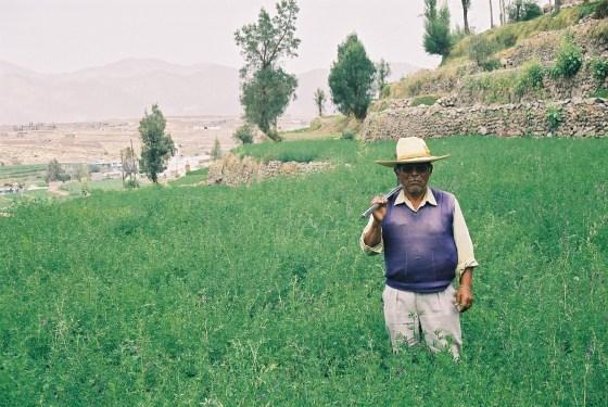 A farmer in alfalfa in Sabandia, Peru