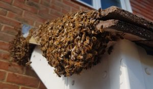 Bee Swarms Hastings