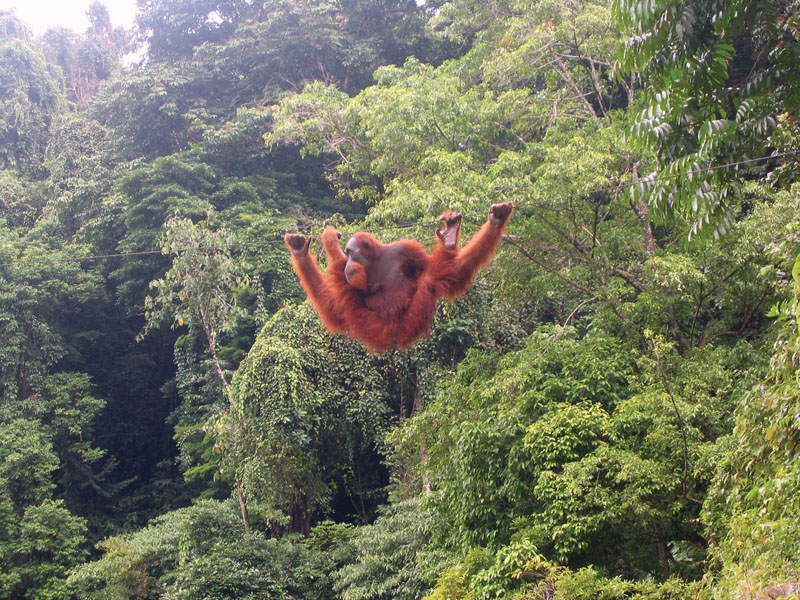 Quiet, compact drones can monitor endangered species like the orangutan in remote areas without disturbing the animals.
