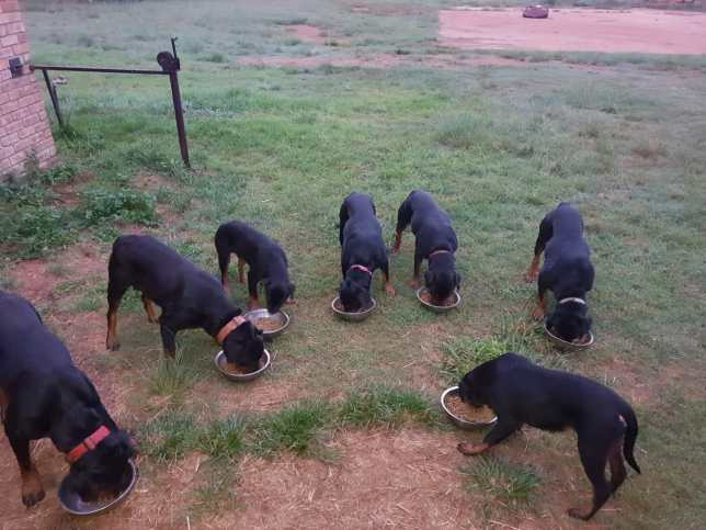 Rottweilers Feeding Time