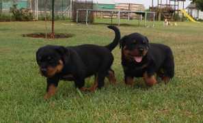 Rottweiler Puppy New 06