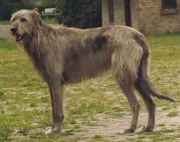 Irish_Wolfhound_Sam