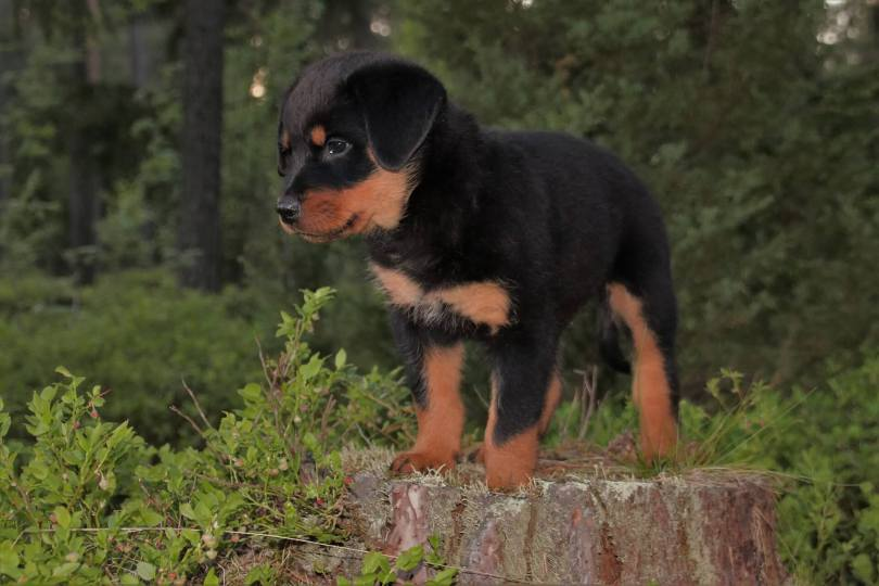 Rottweiler Dog Breed Grooming, Food, Training & Information
