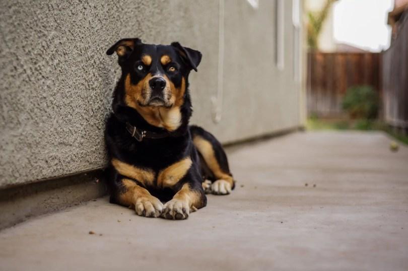 Rottweiler Siberian Husky Mix Dog Breed