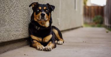 Rottweiler Siberian Husky Mix Dog Breed