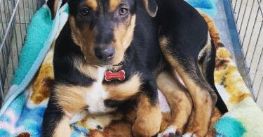 German Shepherd Rottweiler mix.