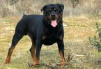How to put weight on my rottweiler
