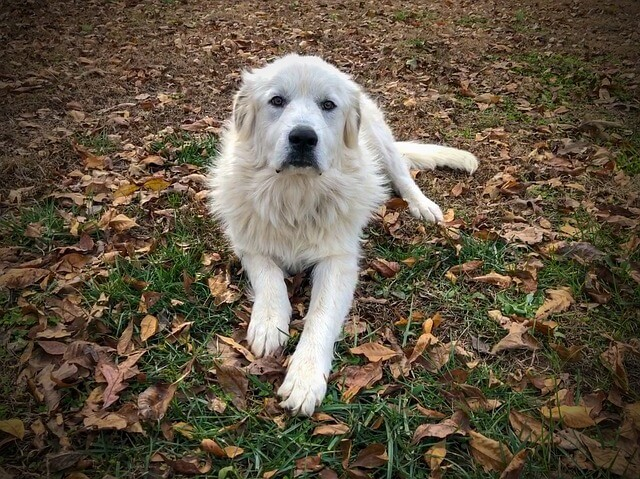 The Great Pyrenees Mountain Dog Breeds