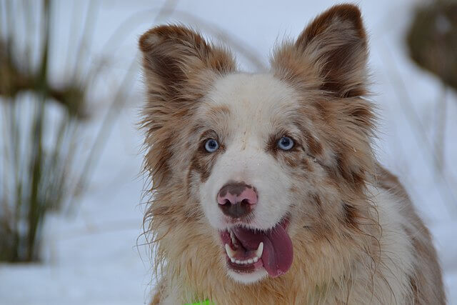 8 Fascinating and Charming Blue eyed Dogs Border Collie