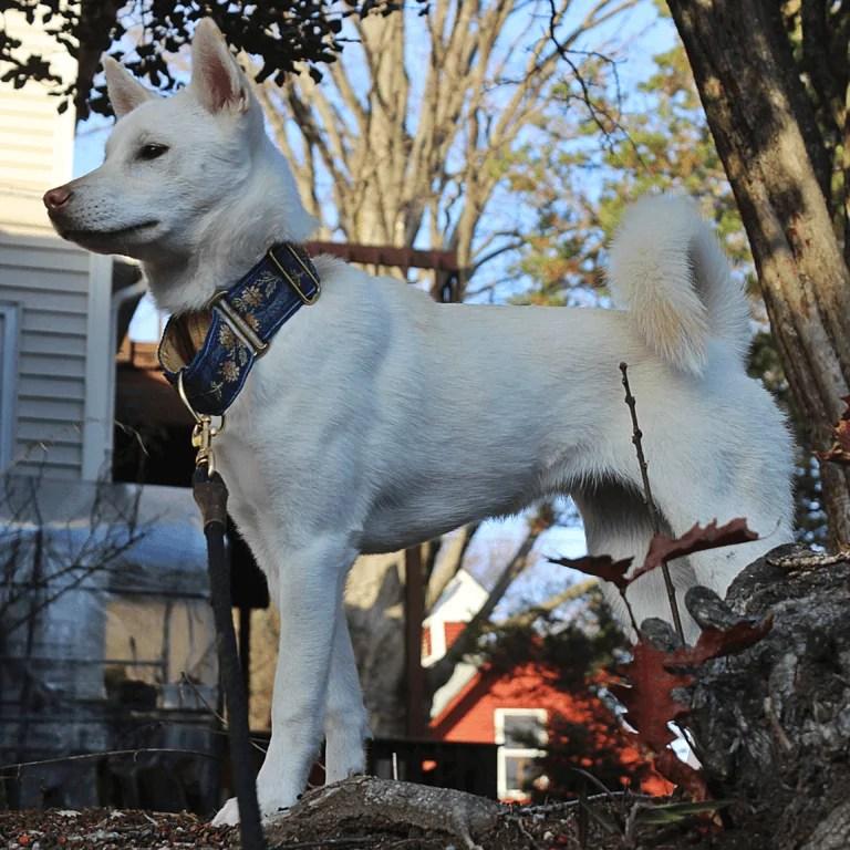 8 Best Japanese dog breeds