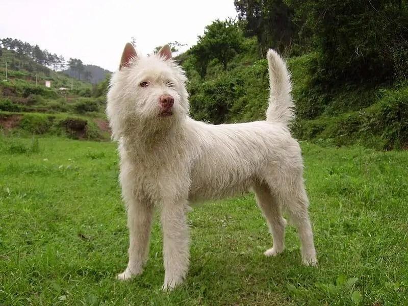 8 Beautiful Chinese Dog Breeds
