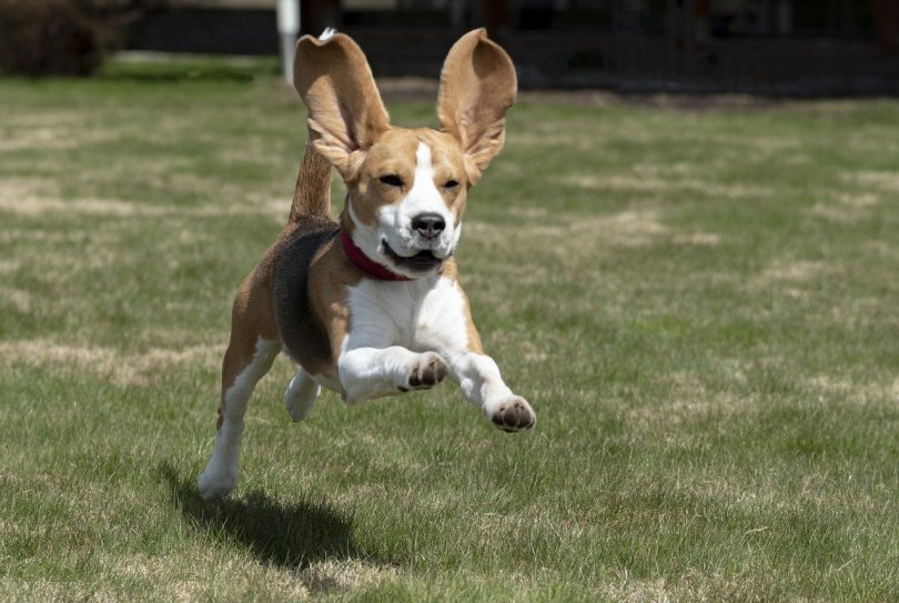 Dogs with long ears