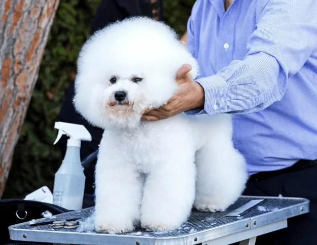 Bichon Frise small fluffy dog breeds