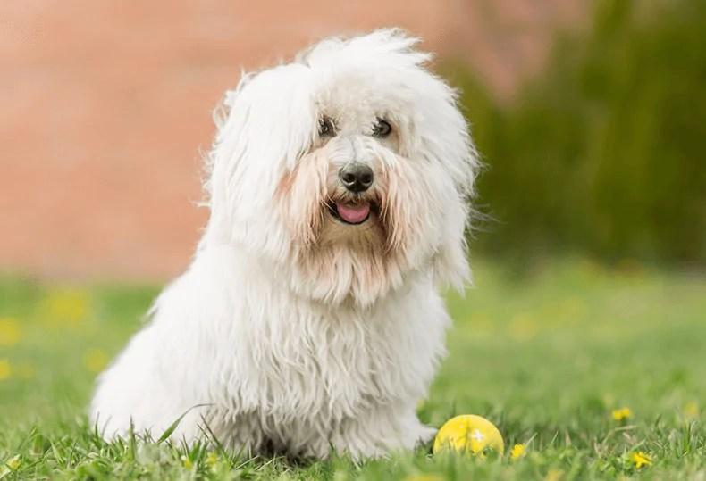 Coton De Tulear small fur dog breeds