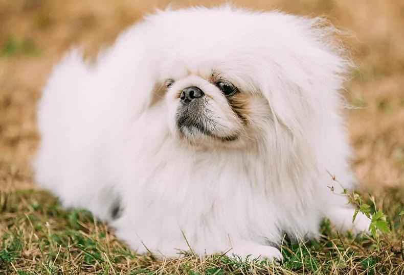 Pekingese small fluffy dogs