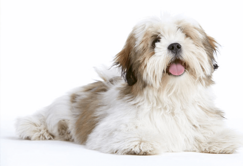 Lhasa Apso small fluffy canine