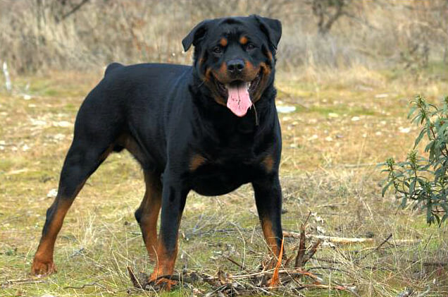 Are Rottweilers Dangerous