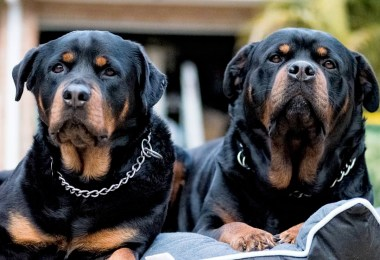 Difference Between German Rottweiler And American Rottweiler