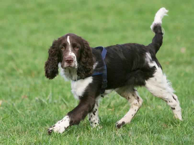 Best Dog Breeds For Hunting