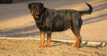 Rottweiler pregnancy care