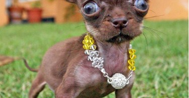 Smallest Dog Breeds Around The World