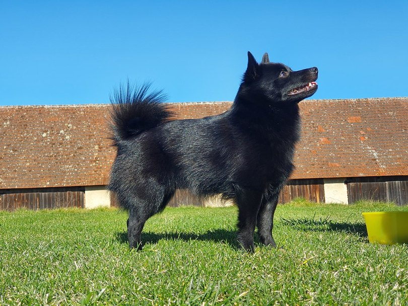 Dog Breeds That Start With S List