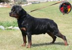 Stop Rottweiler from pulling on the leash
