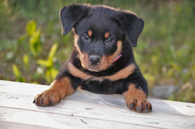 Rottweiler price-How Much Does A Quality Rottweiler Puppy Cost