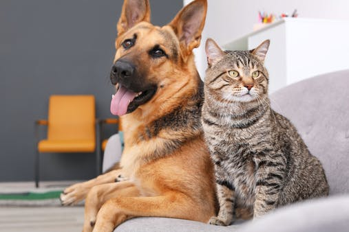 7 Dog Breeds That Get Along Well With Cats