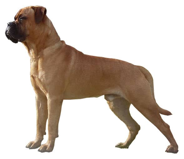 Bullmastiff Dog Breed Information Characteristics And Facts