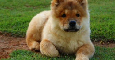 Dog Chow Chow Animal Dog Breed Domestic Pet