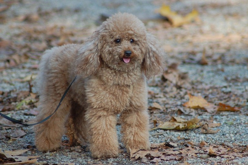 Toy Poodle small fluffy dog