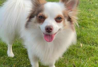 Pomchi dog breed