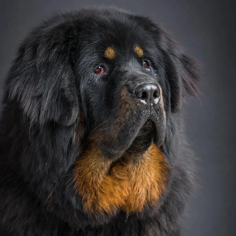 Close Up Tibetan Mastiff Dog Face