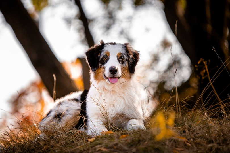 How to train Australian shepherd dog