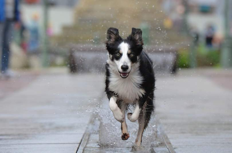 border collie medium sized dogs