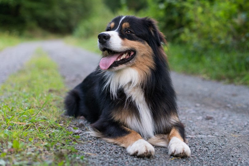 Dog Australian Shepherd History