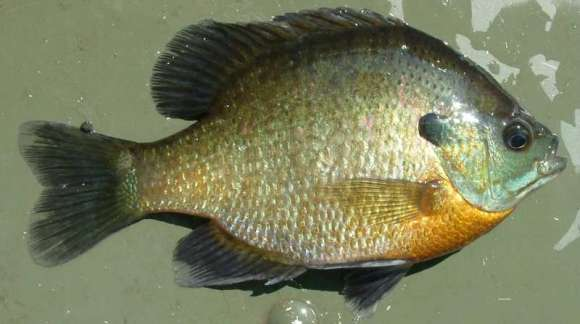 Image result for lepomis macrochirus