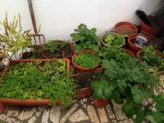 Pots of herbs (loads of self-seeded parsley), mint, coriander, chives, thyme, rocket, and more potatoes