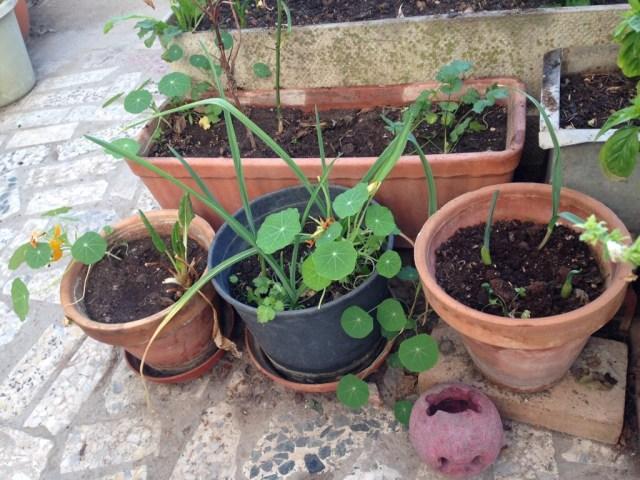 Garlic nasturtium and cilantro