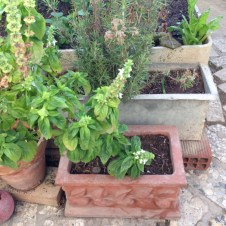 Basil, rosemary … and … garlic