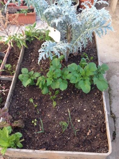 The veg bed, potatoes, garlic, carrot, lettuce, alcachofa