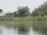 Hippos not happy we are inviting their territory in the Okavango!