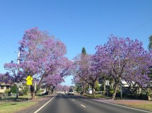 Beautiful blossoming purple trees were all along our drive inland up north to Nimbin