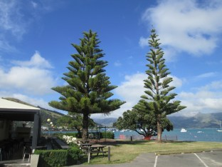 Cool trees in Akaroa - these trees were throughout New Zealand