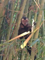 Monkeys playing around and eating bamboo in the Rio Botanical gardens