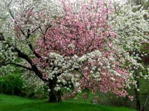Lovely flowering tree ideas for your home yard 11