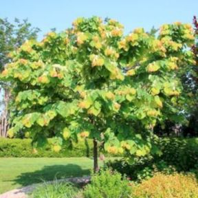 Lovely flowering tree ideas for your home yard 13