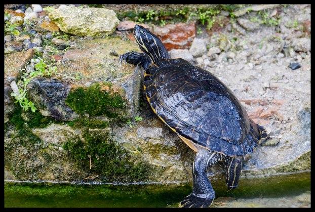Verona - Turtles